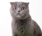 Nellie The Ship's Cat Russian Blue