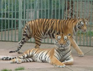 Bengal Tiger Misery, Nellie The Ship's Cat
