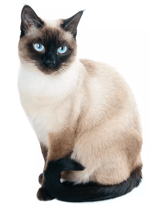 Siamese The Ships Cat